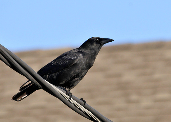 "<div class=""jaDesc""> <h4> Crow Perched on Wire - November 9, 2013 </h4> <p> As I walked off the beach along the bay at Virginia Beach, VA I heard a crow calling loudly.  He was perched on one a utility wire next to a seafood restaurant.</p> </div>"