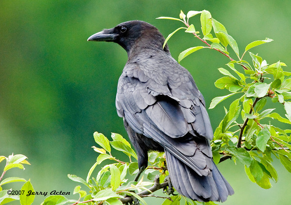 "<div class=""jaDesc""> <h4> Elderly Crow - June 21, 2007 </h4> <p>A pair of Crows started coming into our backyard in mid summer to gather peanuts along with the Blue Jays.  Fortunately that did not last too long.  One of our crabapple trees was a favorite perch.</p> </div>"