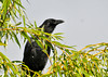 "<div class=""jaDesc""> <h4> Crow Standing Watch - August 30, 2013 </h4> <p> Whenever the family of 4 crows is visiting in the front yard, one of them always acts as the sentinel in our willow tree.  If the Sharp-shinned Hawk is around, he gets mobbed and escorted out of the area.</p> </div>"