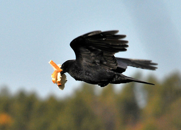 """<div class=""""jaDesc""""> <h4> Piglet Crow - October 24, 2010 </h4> <p> I put out bread for our family of Crows each morning.  I break 4 slices into 4 pieces each and spread them around so one Crow will not get more than it's fair share.  Well this guy managed to collect half of the 16 pieces in one stop.</p> </div>"""