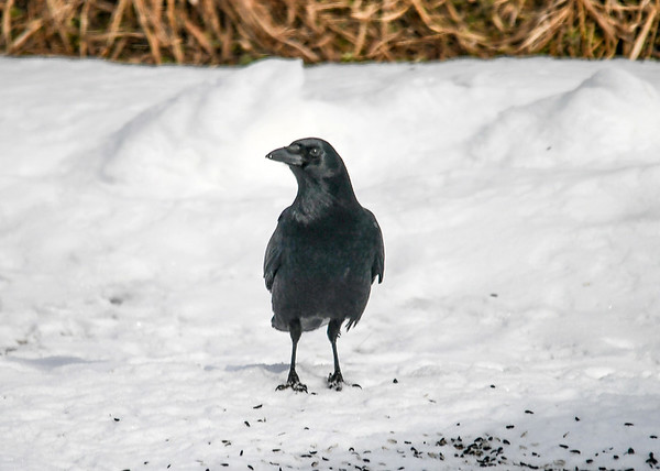 "<div class=""jaDesc""> <h4>Crow - Front View - February 24 2020</h4> <p></p>  </div>"