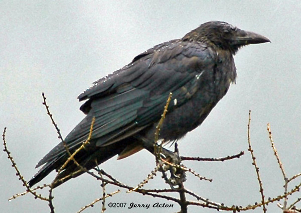 """<div class=""""jaDesc""""> <h4> Elderly Crow - August 2004 </h4> <p>This Crow looks elderly, but he may be suffering from the West Nile virus.</p> </div>"""