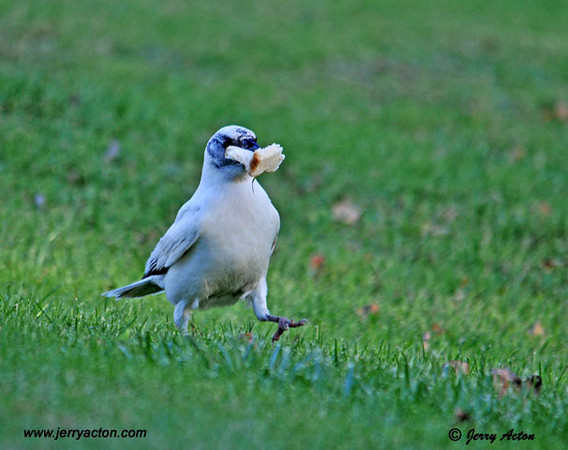 """<div class=""""jaDesc""""> <h4> Rare Find - White Crow Strutting with Bread - November 7, 2010 </h4> <p> I had tossed bread in the grass to lure this leucistic Crow toward my blind.  She grabbed 4 chunks and was real proud of herself as she strutted in front of me.  She did not spook at the movement of my lens.</p> </div>"""