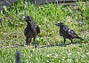 "<div class=""jaDesc""> <h4>Juvenile Crows Cleaning Up Seed - July 2, 2018</h4> <p>The juvenile Crow call sounds more like a Duck than a Crow.  They seemed to be quite comfortable dining on their own.</p>  </div>"