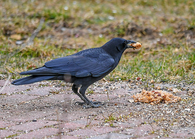 Crow with Chunk of Left-over Oatmeal - March 18 2020