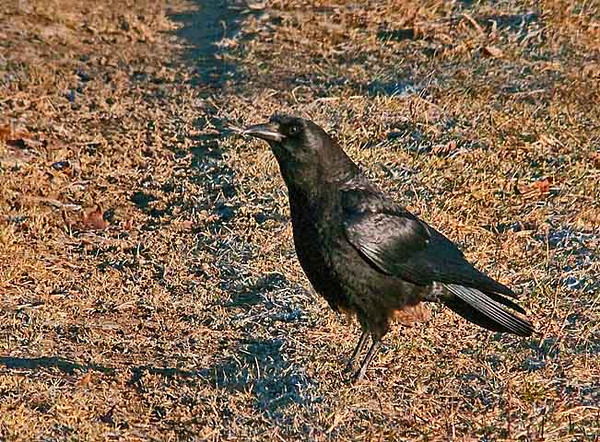 """<div class=""""jaDesc""""> <h4> Crow Waiting for Bread - March 17, 2010 </h4> <p> I put some bread out every morning for a pair of Crows that hang out in our horse pastures and in the trees across the road.  I was a bit late this morning, so they were impatiently walking around the driveway giving me the hurry up body language.</p> </div>"""