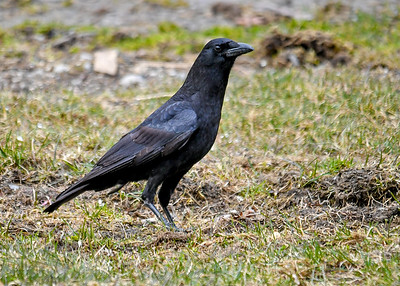 Crow Looking for Seed - March 18 2020