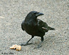 """<div class=""""jaDesc""""> <h4> Crows Gathering Bread - May 26, 2009 - Video Attached</h4> <p> I have a pair of Crows trained to come right up to our front porch area for stale bread in the morning.  They are still a bit nervous about being so close to the house.  The hoses are marking the layout of a new brick walkway.</p> </div> <center> <a href=""""http://www.youtube.com/watch?v=aE1dqcYjtkQ"""" style=""""color: #0AC216"""" class=""""lightbox""""><strong> Play Video</strong></a> </center>"""