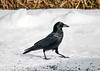 "<div class=""jaDesc""> <h4>Crow Walking Cautiously - February 24 2020</h4> <p>Even though they know they are saafe here, the Crows are always very wary since they are often shot for sport around farms.</p>  </div>"