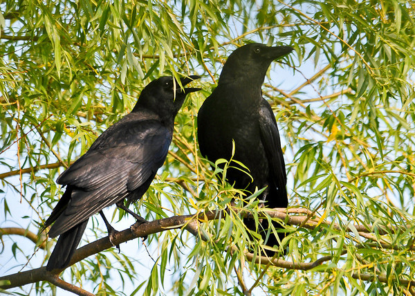 """<div class=""""jaDesc""""> <h4> Mom and Juvenile Crow - June 7, 2014 - Video Attached</h4> <p> Our Crows have only one youngster this year.  He is now coming with them to get stale bread and cracked corn every morning.  In the video you can hear his duck like call compared to Dad who is calling from his sentinel perch.  </p> </div> <center> <a href=""""http://www.youtube.com/watch?v=1EexHpZt74A"""" style=""""color: #0AC216"""" class=""""lightbox""""><strong> Play Video</strong></a> </center>"""
