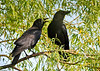 "<div class=""jaDesc""> <h4> Mom and Juvenile Crow - June 7, 2014 - Video Attached</h4> <p> Our Crows have only one youngster this year.  He is now coming with them to get stale bread and cracked corn every morning.  In the video you can hear his duck like call compared to Dad who is calling from his sentinel perch.  </p> </div> <center> <a href=""http://www.youtube.com/watch?v=1EexHpZt74A"" style=""color: #0AC216"" class=""lightbox""><strong> Play Video</strong></a> </center>"