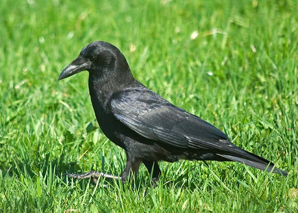 """<div class=""""jaDesc""""> <h4> Crow Strutting in Grass - April 28, 2009 </h4> <p> I have been putting stale bread in my front yard to lure a pair of crows in close enough for some shots. This guy was strutting around in the tall grass checking things out from a distance. </div>"""