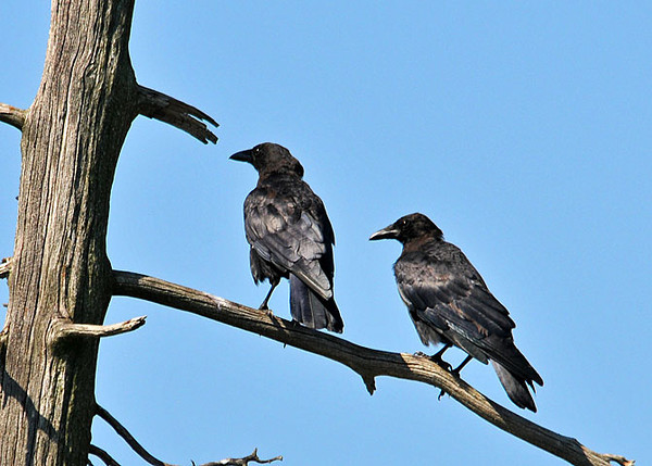 """<div class=""""jaDesc""""> <h4> Crow Pair Perched - August 29, 2010 </h4> <p> This pair of Crows were flying around together and selected this dead tree in a swampy area as their resting spot.  They kept a close eye on me as I approached them from behind.</p> </div>"""