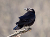 "<div class=""jaDesc""> <h4> Crow Calling for Mate - February 24, 2009 </h4> <p> This guy was crowing like crazy on a branch overlooking the Susquehanna River in Owego, NY.  He was trying to win over a female perched in an adjacent tree. </div>"