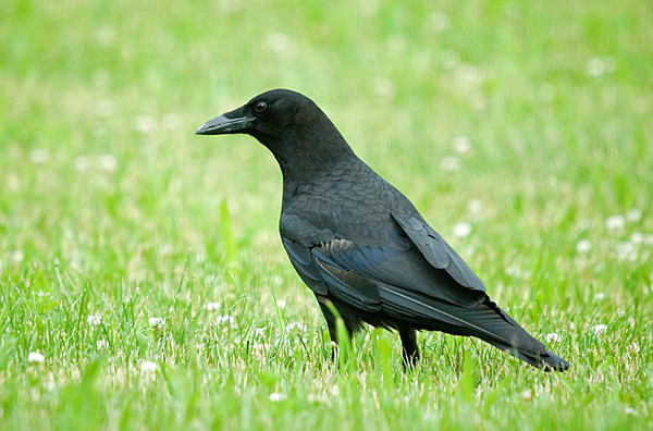 "<div class=""jaDesc""> <h4> Crow Looking for Bread - June 17, 2008 </h4> <p> About once a week we toss stale bread out in the backyard.  It is like a magnet for the Crows who come in to enjoy a short feast. </div>"