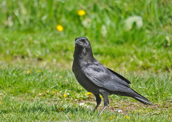 """<div class=""""jaDesc""""> <h4>Crow Collecting Corn Kernels - May 10, 2016</h4> <p>I accidentally bought kernel corn instead of cracked corn, but the crows and Blue Jays seem to like it better.  They can toss several in their croup and fly off to a private place to eat.</p>  </div>"""