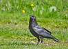 "<div class=""jaDesc""> <h4>Crow Collecting Corn Kernels - May 10, 2016</h4> <p>I accidentally bought kernel corn instead of cracked corn, but the crows and Blue Jays seem to like it better.  They can toss several in their croup and fly off to a private place to eat.</p>  </div>"