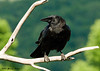 "<div class=""jaDesc""> <h4> Crow on Backyard Perch - July 1, 2007 </h4> <p> A pair of Crows have decided that the shelled peanuts I put out for the Blue Jays and Chickadees are fair game for them as well. They perch by our water garden before coming into the ground feeding areas. </div>"