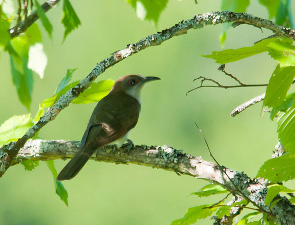 """<div class=""""jaDesc""""> <h4> Black-billed Cuckoo on Perch - June 27, 2012 </h4> <p> This Black-billed Cuckoo flew into a tree in front of me as I was walking along a trail with lots of saplings and thickets on both sides.  He clucked briefly confirming my guess that he might be a Cuckoo.  I enjoyed having him in view for about 15 seconds before he flew out of sight into a dense thicket.</p> </div>"""