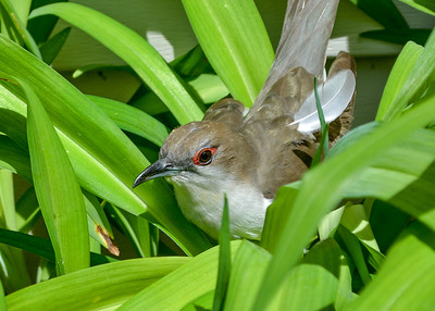 "<div class=""jaDesc""> <h4> Black-billed Cuckoo Recovering - May 22, 2019 </h4> <p> I was unaware that this Black-billed Cuckoo collided with the glass in our front door.  Unfortunately, I spooked her as I was opening the door.  She was able to fly to a bed of lilies by our garage, but landed almost upside down.  So I walked over quietly and adjusted her so she was upright.</p> </div>"