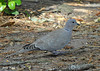 "<div class=""jaDesc""> <h4>Eurasian Collared Dove Ground Feeding - November 10, 2009 </h4> <p>Six Eurasian Collared Doves enjoyed the seed that my grandson and I spread on the ground in my daughter's backyard in Monterey, CA.  They are named for the black collar around their neck.</p> </div>"