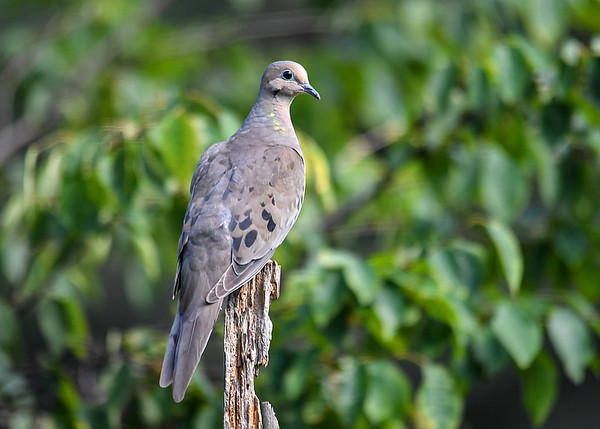 "<div class=""jaDesc""> <h4> Mourning Dove on Perch - July 17, 2017 </h4> <p>This perch is one of the Mourning Dove favorites.</p> </div>"