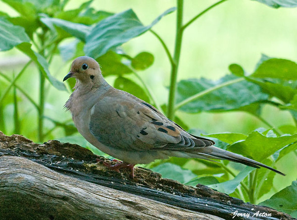"<div class=""jaDesc""> <h4>Mourning Dove in Shadows - August 26, 2010 </h4> <p> We have two pair of Mourning Doves visiting now after not seeing them for quite awhile.  Between nesting and avoiding hawks, they have been staying in the woods.</p> </div>"