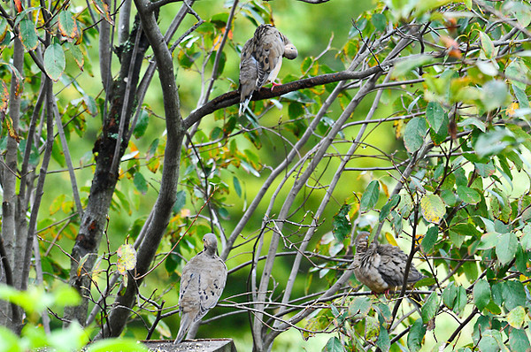"<div class=""jaDesc""> <h4> Mourning Doves Grooming - September 13, 2013 - Video Attached</h4> <p> Three Mourning Doves were enjoying a grooming session together in one of our serviceberry trees.</p> </div> </br> <center> <a href=""http://www.youtube.com/watch?v=-jiynaoijjA"" class=""lightbox""><img src=""http://d577165.u292.s-gohost.net/images/stories/video_thumb.jpg"" alt=""""/></a> </center>"