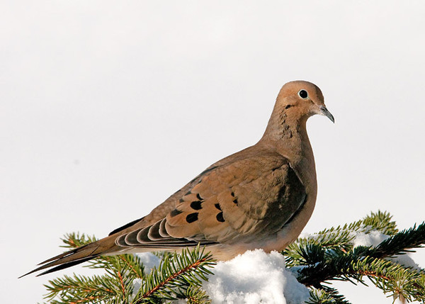 "<div class=""jaDesc""> <h4> Mourning Dove On Alert - March 7, 2011 </h4> <p>We have 6 Mourning Doves that visit regularly in a large covered feeder. Sometimes they like to bask in the sun for extra warmth on cold breezy days.</p> </div>"