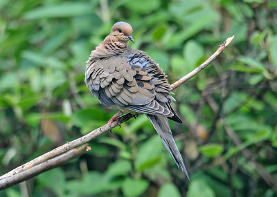 """<div class=""""jaDesc""""> <h4> Mourning Dove Grooming - June 8, 2016 </h4> <p>On a perch in our front yard, this Mourning Dove spent about 10 minutes grooming very meticulously.</p> </div>"""