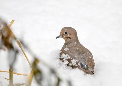 Mourning Dove in Snow by Vegetation Wind Break - December 7, 2018