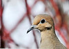 "<div class=""jaDesc""> <h4> Mourning Dove Close-up - March 21, 2014 </h4> <p>Right now, we have only two Mourning Doves visiting our feeders.  They seem to be less spooky than most doves are. </p> </div>"