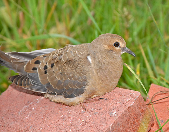 """<div class=""""jaDesc""""> <h4>Juvenile Mourning Dove Resting - August 25, 2010 </h4> <p>This juvenile Mourning Dove appeared to be tired from flying. He just wanted to rest for a bit on the brick pile in front of our house. After about 10 minutes he flew off. I never saw him with his parents who came in at separate times.</p> </div>"""