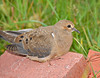 "<div class=""jaDesc""> <h4>Juvenile Mourning Dove Resting - August 25, 2010 </h4> <p>This juvenile Mourning Dove appeared to be tired from flying. He just wanted to rest for a bit on the brick pile in front of our house. After about 10 minutes he flew off. I never saw him with his parents who came in at separate times.</p> </div>"