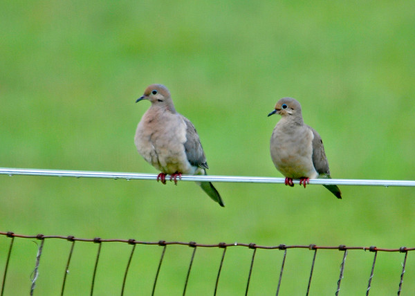 "<div class=""jaDesc""> <h4> Mourning Dove Pair Hanging Out - August 23, 2014 </h4> <p>This pair of Mourning Doves was quietly hanging out together on one of our horse pasture fences.</p> </div>"