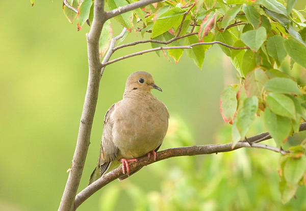 """<div class=""""jaDesc""""> <h4>Mourning Dove Resting - September 13, 2008 </h4> <p> This Mourning Dove was resting in the serviceberry tree waiting for a turn at the feeders.</p> </div>"""