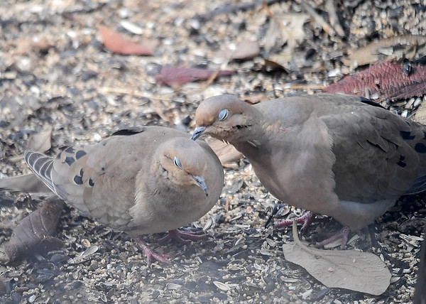 """<div class=""""jaDesc""""> <h4> Mourning Doves in Love #1 - March 29, 2018 </h4> <p>This pair of Mourning Doves were grooming each other in a very loving, tender way, often with their eyes closed.  I have never seen anything like this before.  Usually the male is roughly chasing the female around and pecking at her.</p> </div>"""