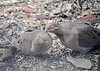 "<div class=""jaDesc""> <h4> Mourning Doves in Love #1 - March 29, 2018 </h4> <p>This pair of Mourning Doves were grooming each other in a very loving, tender way, often with their eyes closed.  I have never seen anything like this before.  Usually the male is roughly chasing the female around and pecking at her.</p> </div>"