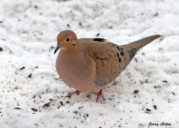 """<div class=""""jaDesc""""> <h4>Mourning Dove Ground Feeding - January 20, 2010 </h4> <p> A pair of Mourning Doves visits when the Hawks have not been around.  This gal was ground feeding in our backyard.</p> </div>"""