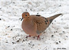 "<div class=""jaDesc""> <h4>Mourning Dove Ground Feeding - January 20, 2010 </h4> <p> A pair of Mourning Doves visits when the Hawks have not been around.  This gal was ground feeding in our backyard.</p> </div>"