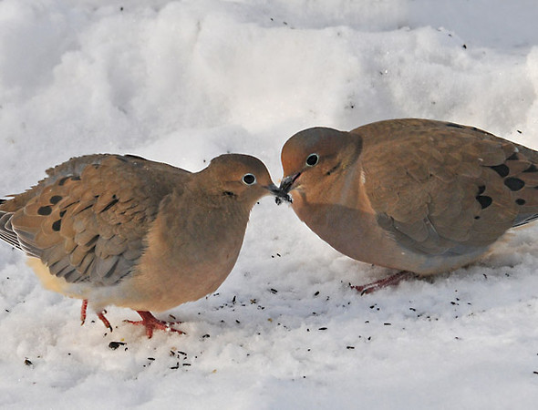 "<div class=""jaDesc""> <h4> Mourning Dove Affection - December 15, 2010 </h4> <p>This Mourning Dove pair exchanged a quick beak tap while ground feeding together. They were tucked behind a pile of snow to shield them from the fierce cold wind that was blowing most of the day.</p> </div>"