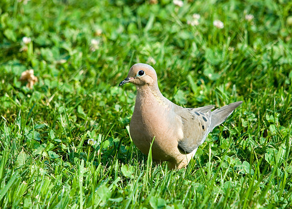 "<div class=""jaDesc""> <h4>Mourning Dove in Front Lawn - July 18, 2008 </h4> <p> A pair of Mourning Doves regularly wander through the grass in our front lawn looking for the seed I toss on the ground.  Several weeks ago a Red-tailed Hawk went after one of the Doves, chasing it across our horse pastures.  The dove got away with a tight maneuver into a spruce tree at the bottom of our property.</p> </div>"