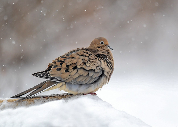 "<div class=""jaDesc""> <h4> Mourning Dove Fluffed in Snow Storm - February 4, 2018 </h4> <p>This Mourning Dove was extra fluffed to stay warm in another sub-zero snow storm.</p> </div>"