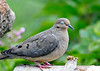 "<div class=""jaDesc""> <h4> Mourning Dove Wink - August 17, 2014 </h4> <p>I caught this gal winking at me - what a flirt.</p> </div>"