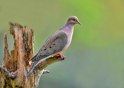 """<div class=""""jaDesc""""> <h4> Mourning Dove on Suet Stump - May 21, 2017 </h4> <p>This Mourning Dove was enjoying the warmth of the sunshine.  We have 3 pair of Doves that coo in our yard every morning.</p> </div>"""