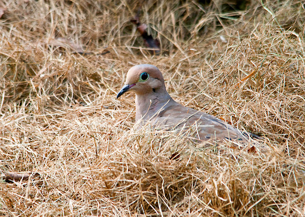 """<div class=""""jaDesc""""> <h4> Mourning Dove Scratching for Seed in Grass - August 23, 2013 - Video Attached</h4> <p> I toss white millet seed on grass clippings under bushes in my back yard.  This Mourning Dove was determined to find every seed that I had sprinkled.</p> </div> </br> <center> <a href=""""http://www.youtube.com/watch?v=cqxn9MkQ8Og"""" class=""""lightbox""""><img src=""""http://d577165.u292.s-gohost.net/images/stories/video_thumb.jpg"""" alt=""""""""/></a> </center>"""