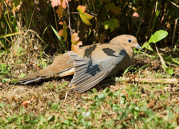 "<div class=""jaDesc""> <h4>Mourning Dove Sunbathing - September 24, 2008 </h4> <p> The Mourning Doves often hunker down in the tall grass in our front yard, but this one found a nice open spot in the sunlight and spread its wings to sunbath.</p> </div>"