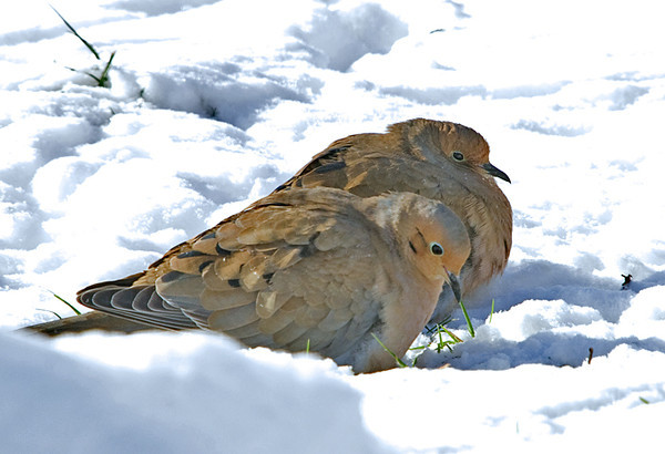 "<div class=""jaDesc""> <h4>Mourning Dove Pair in Afternoon Sun - November 22, 2008 </h4> <p> This Mourning Dove pair were enjoying sun warmth in the morning sun.</p> </div>"
