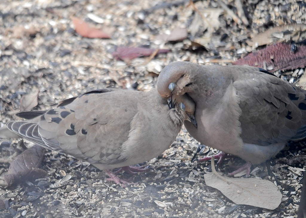 "<div class=""jaDesc""> <h4> Mourning Doves in Love #3 - March 29, 2018 </h4> <p>Snuggling.  Doves mate for life.  This may be a pair that have been together for a while.</p> </div>"