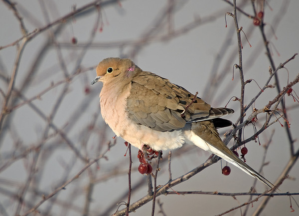 """<div class=""""jaDesc""""> <h4>Mourning Dove Soaking Up Morning Sun - January 1, 2009 </h4> <p> Our backyard crabapple tree is a favorite resting spot for the mourning doves.  They especially enjoy soaking up the warmth of the morning sun.</p> </div>"""